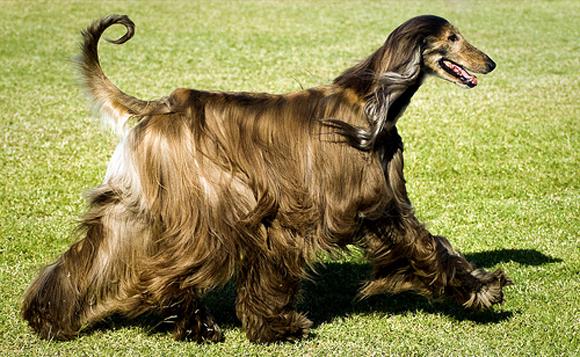 afghan-hound-4
