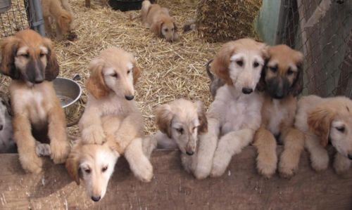 afghan-hound-puppies