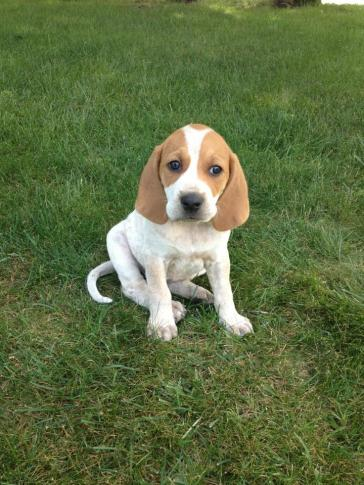 american-english-coonhound-puppies-breed