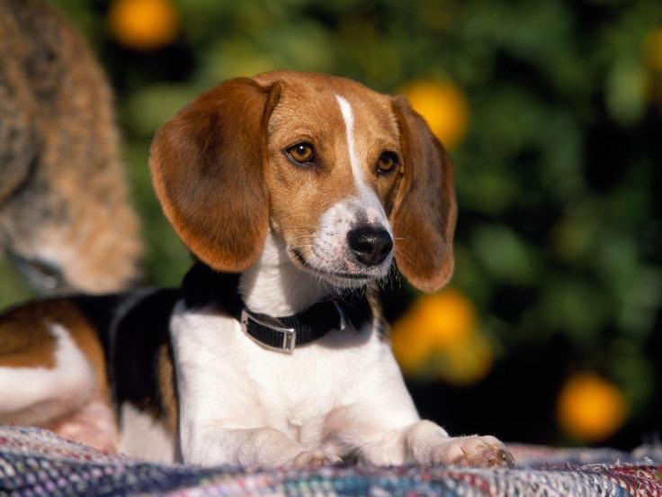american-foxhound-puppy.jpg